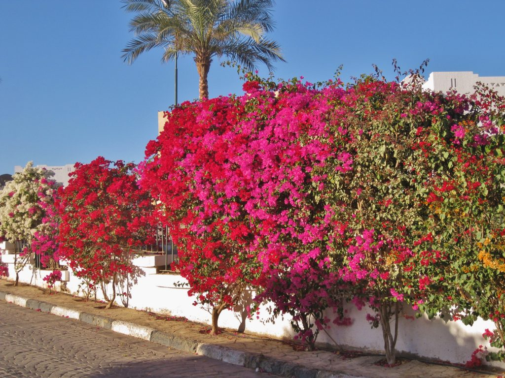 Blomstrende mur